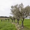 14-campo-de-olivos-3